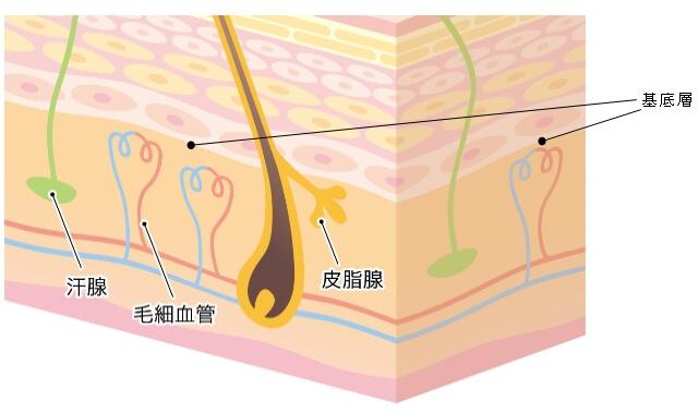 真皮と毛細血管を説明した画像