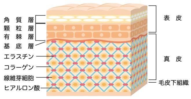 肌断面の構造を説明した画像